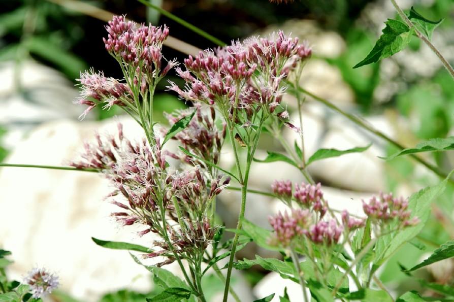 Eupatorium cannabinum subsp. cannabinum 2