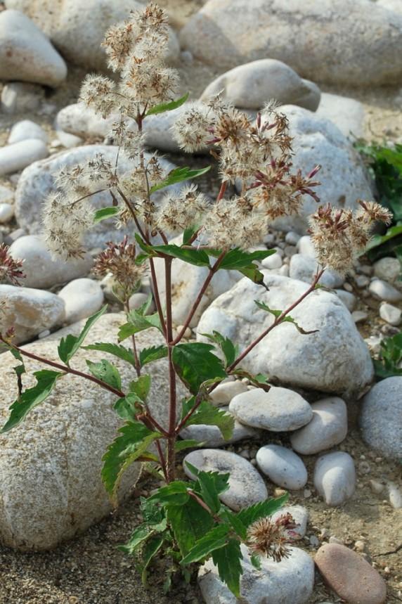 Eupatorium cannabinum subsp. cannabinum 20