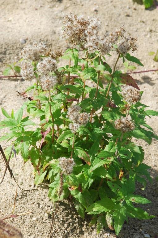 Eupatorium cannabinum subsp. cannabinum 21