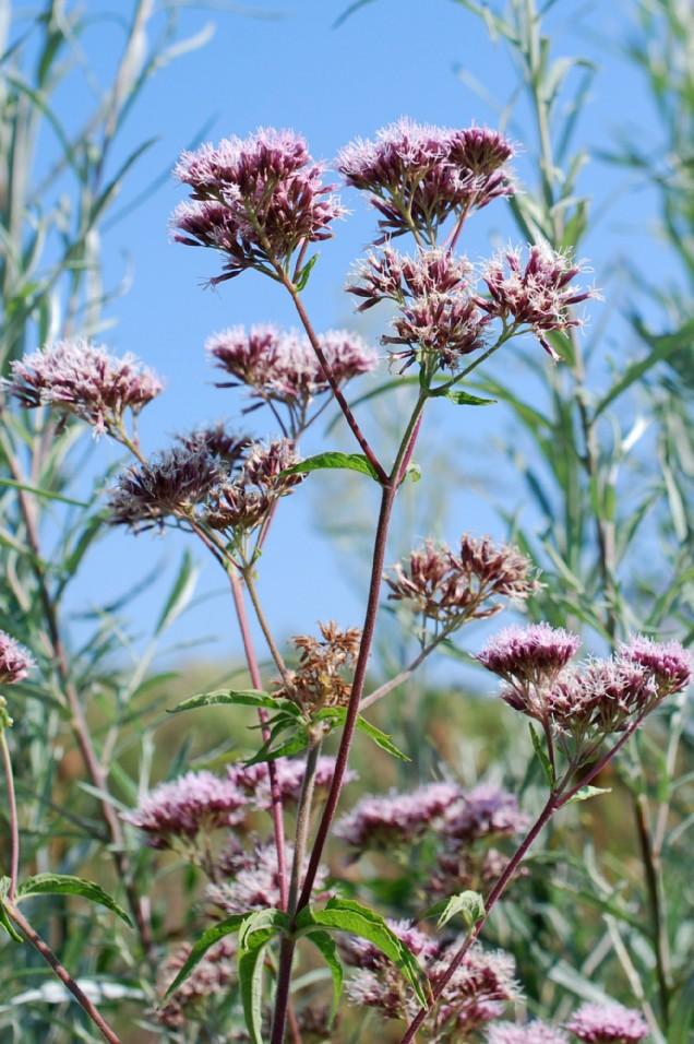 Eupatorium cannabinum subsp. cannabinum 23