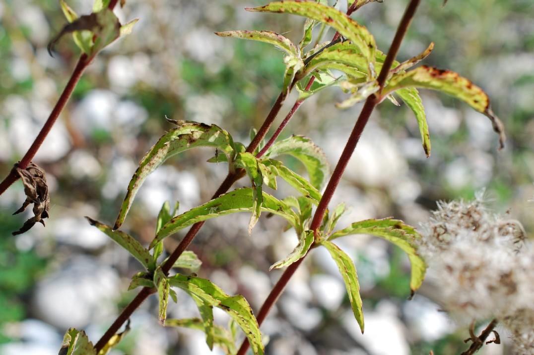Eupatorium cannabinum subsp. cannabinum 25