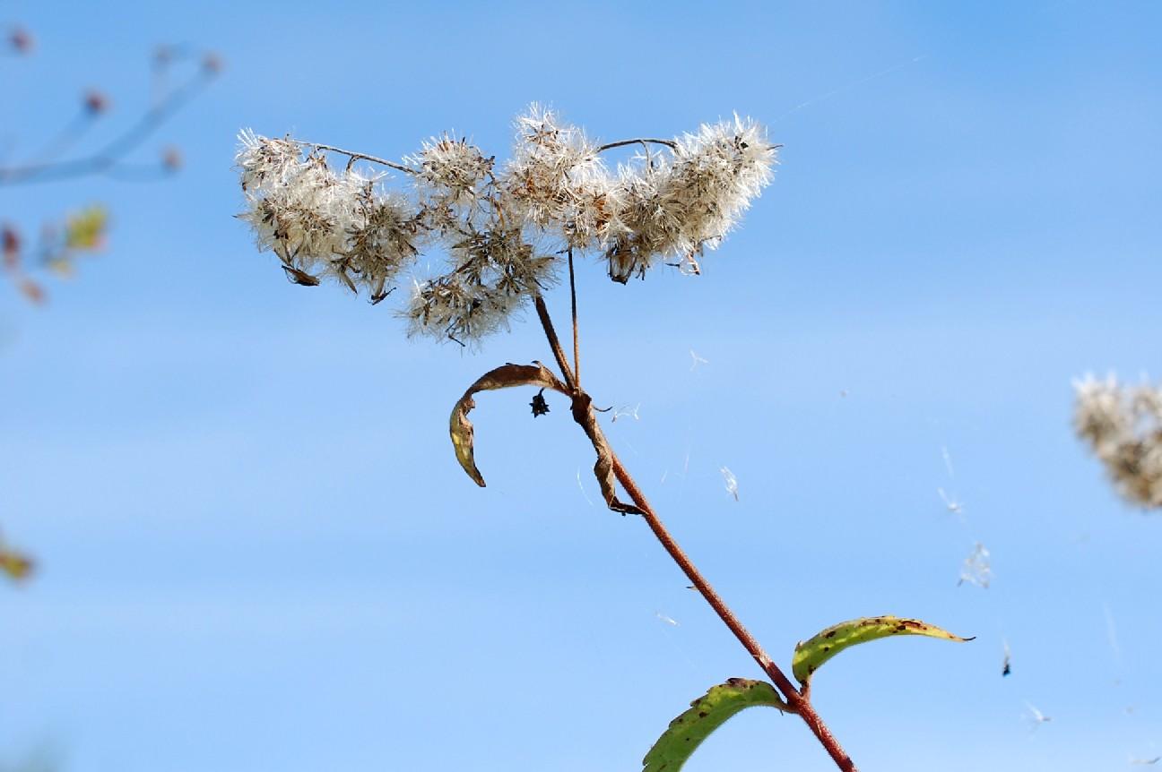 Eupatorium cannabinum subsp. cannabinum 26