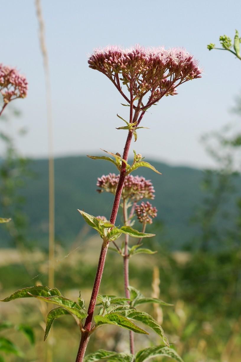 Eupatorium cannabinum subsp. cannabinum 28