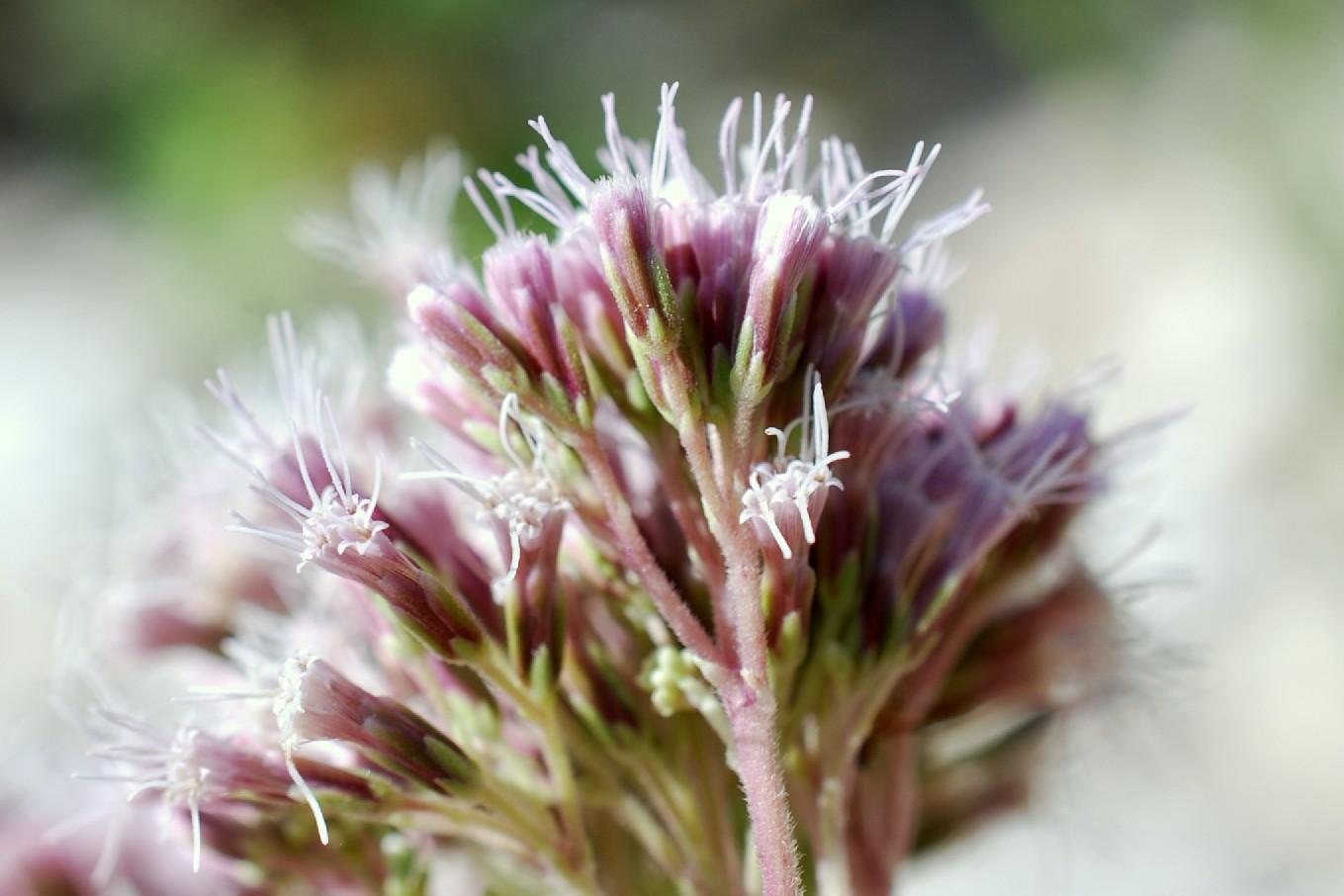 Eupatorium cannabinum subsp. cannabinum 30