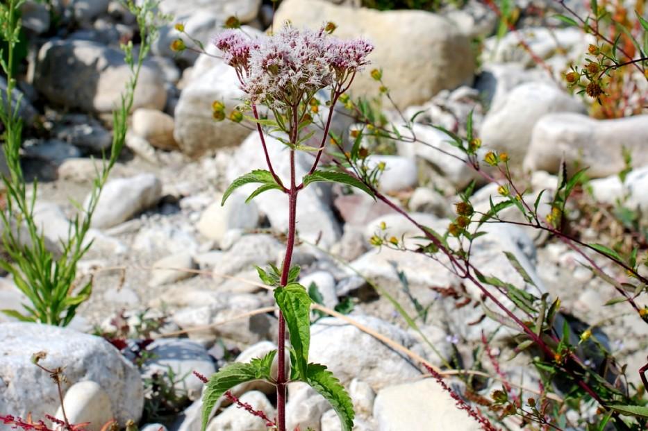 Eupatorium cannabinum subsp. cannabinum 31