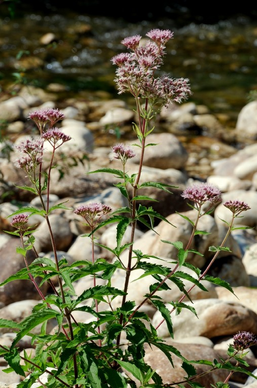 Eupatorium cannabinum subsp. cannabinum 4