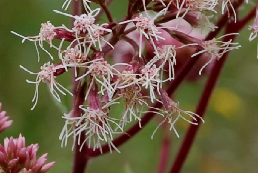 Eupatorium cannabinum subsp. cannabinum 5