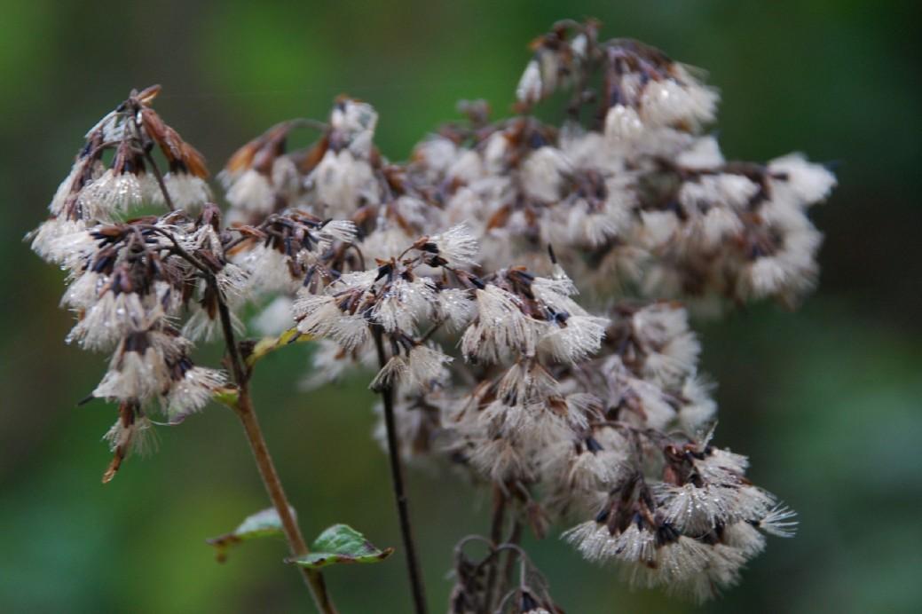 Eupatorium cannabinum subsp. cannabinum 6