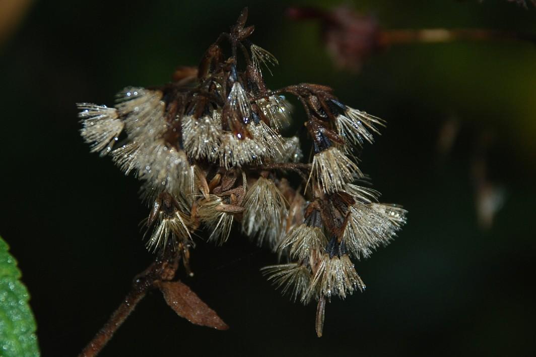 Eupatorium cannabinum subsp. cannabinum 7