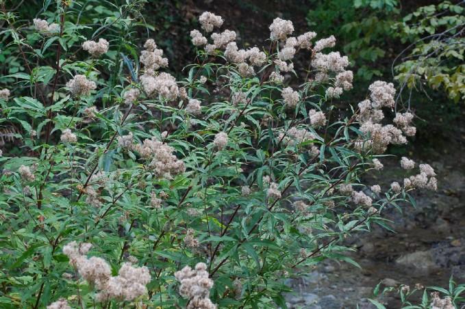 Eupatorium cannabinum subsp. cannabinum 9
