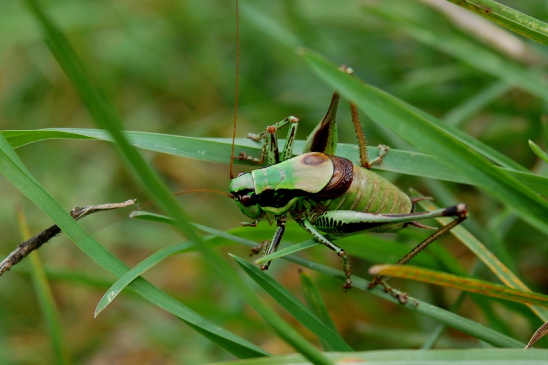 Eupholidoptera chabrieri - Tettigoniidae