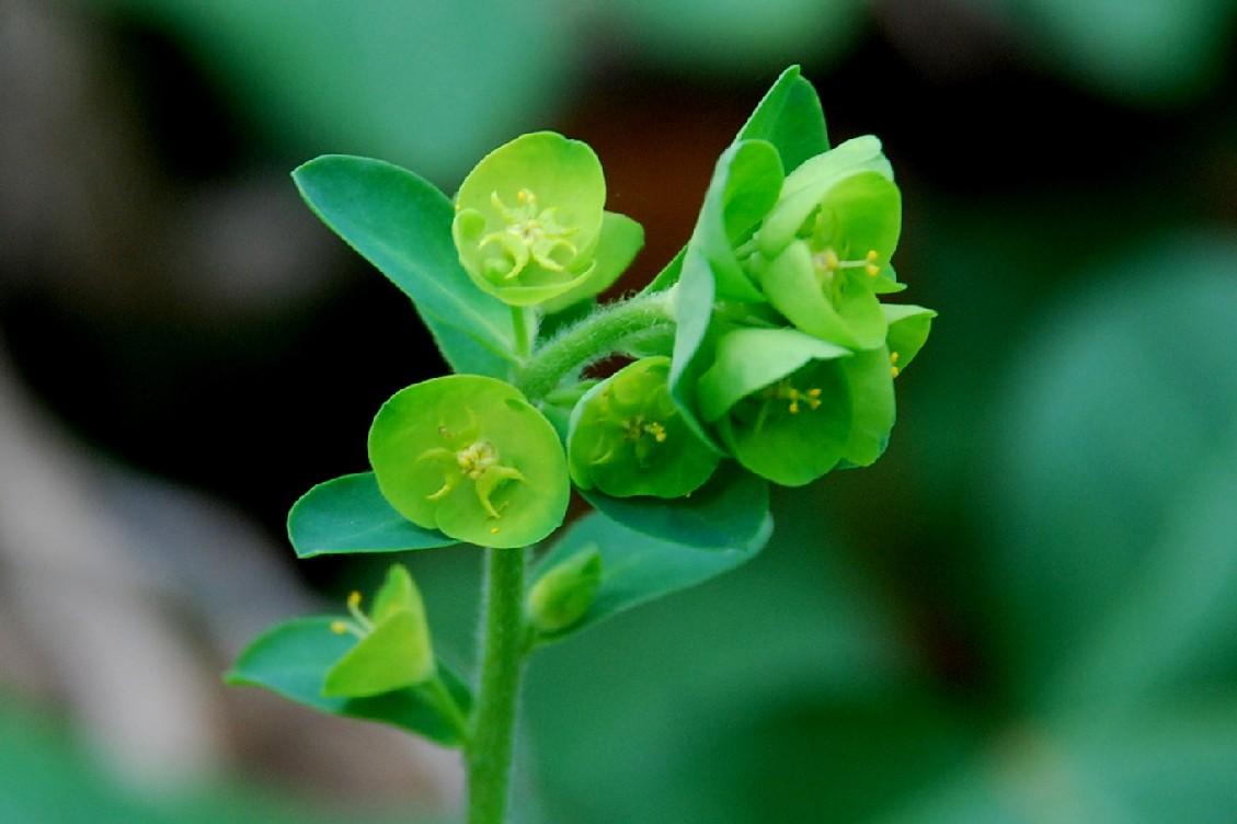 Euphorbia amygdaloides subsp. amygdaloides 15