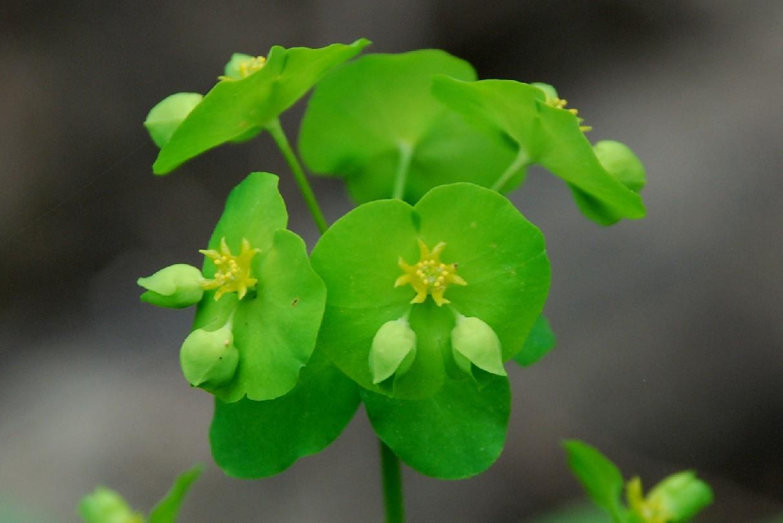 Euphorbia amygdaloides subsp. amygdaloides 20