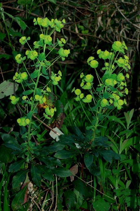 Euphorbia amygdaloides subsp. amygdaloides 3