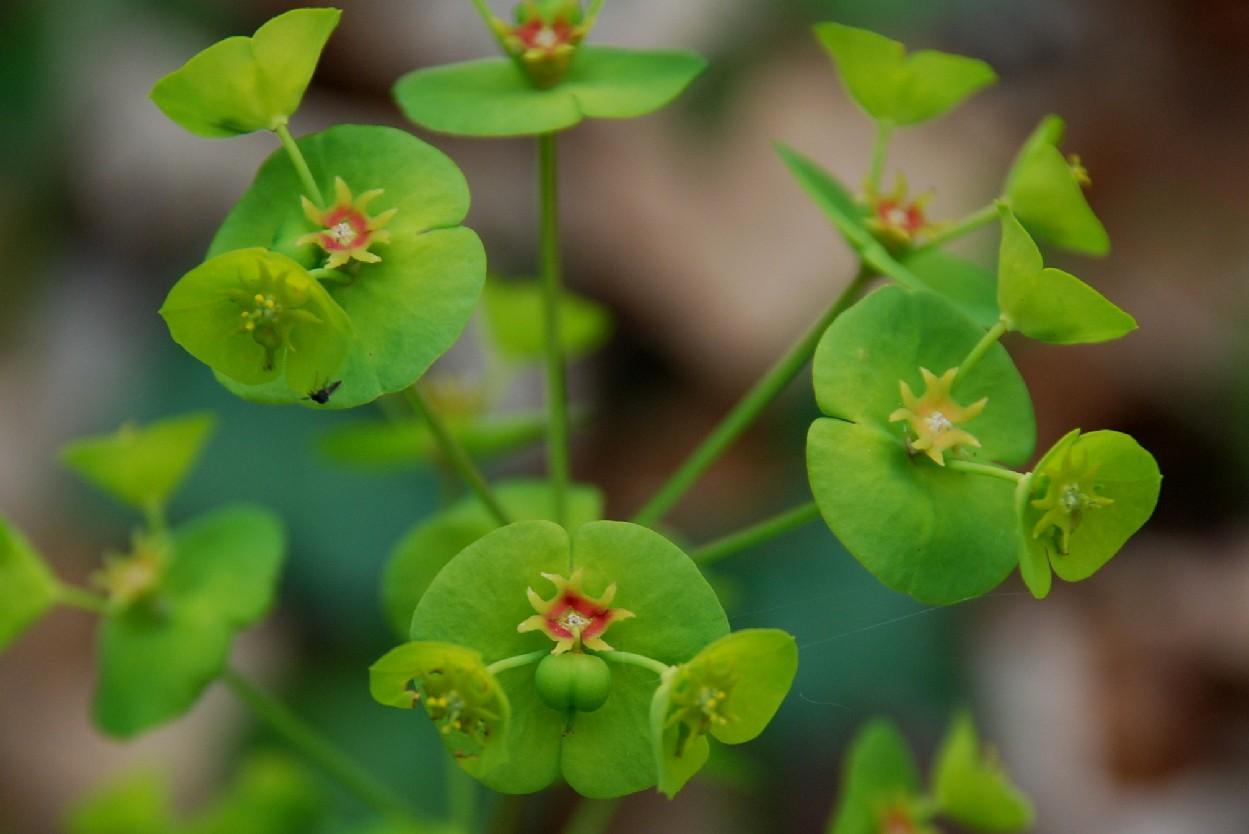 Euphorbia amygdaloides subsp. amygdaloides 7