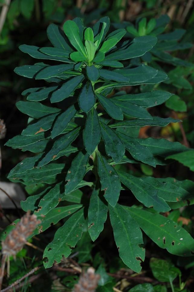 Euphorbia amygdaloides subsp. amygdaloides 9