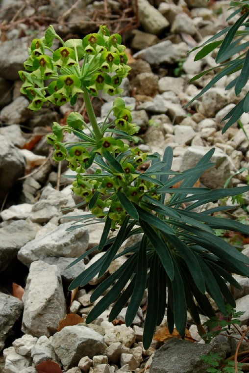 Euphorbia characias subsp. characias