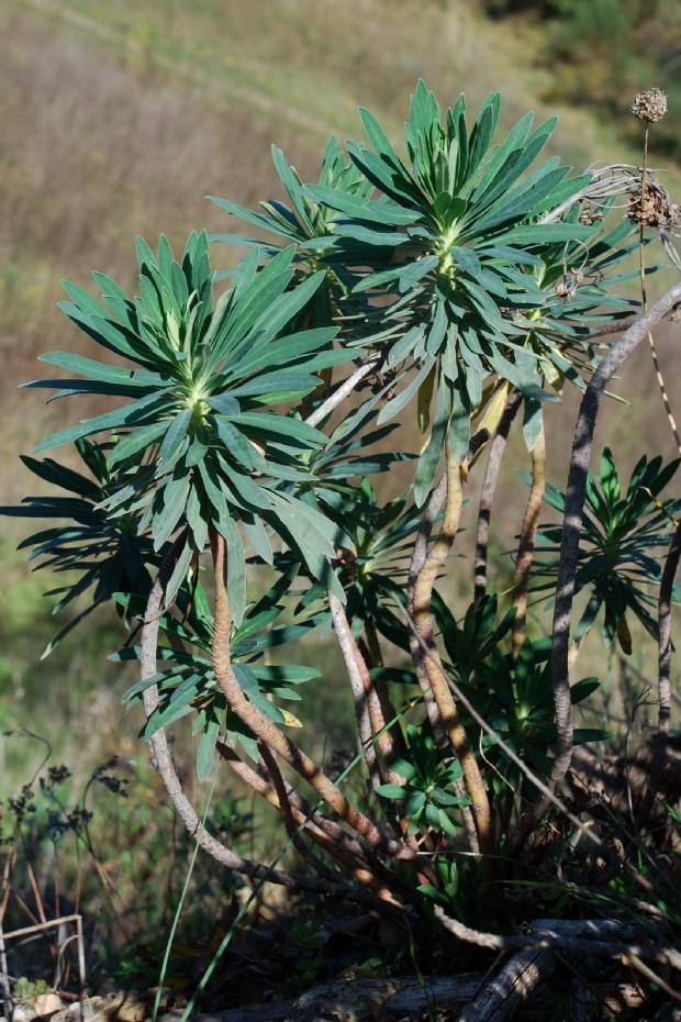 Euphorbia characias subsp. characias 15