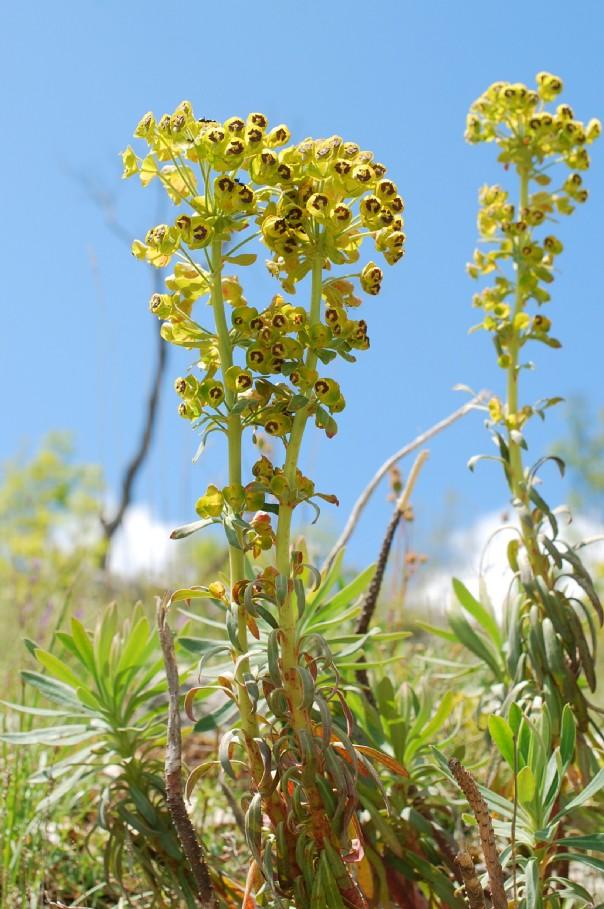 Euphorbia characias subsp. characias 19
