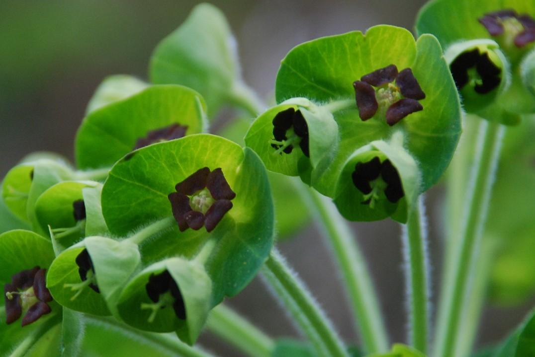 Euphorbia characias subsp. characias 8