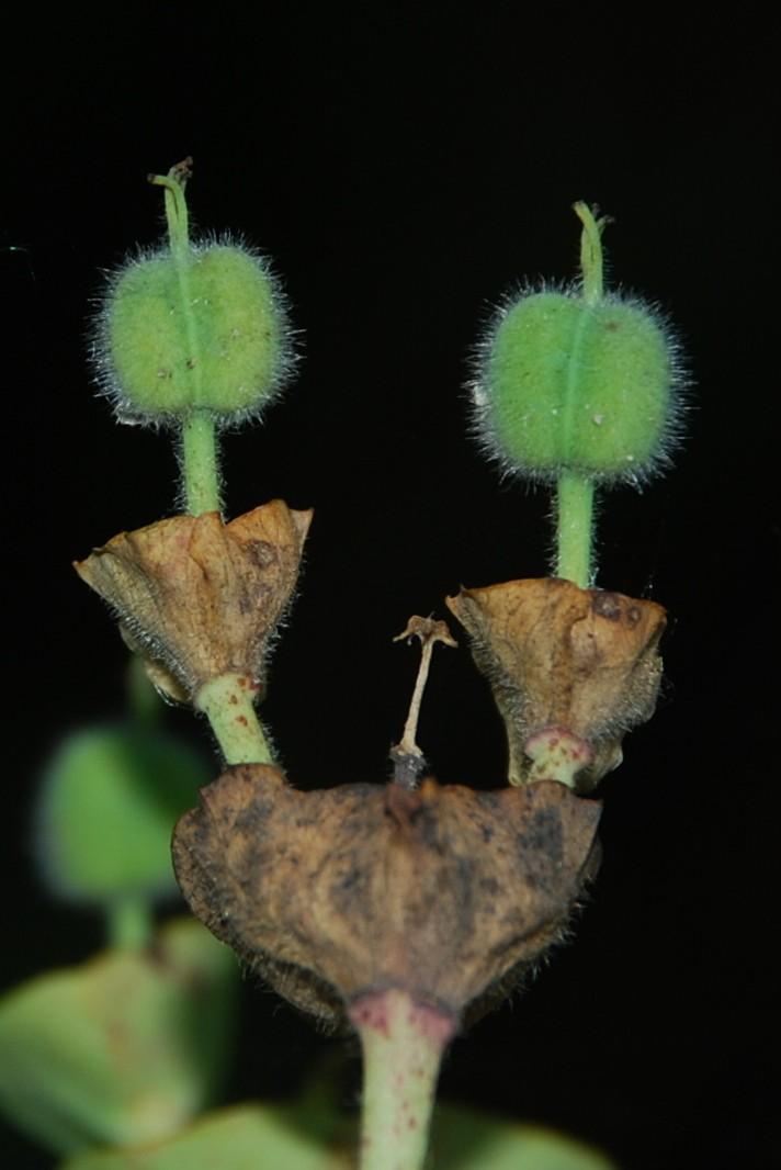 Euphorbia characias subsp. characias 9