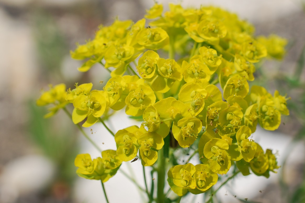 Euphorbia cyparissias 17
