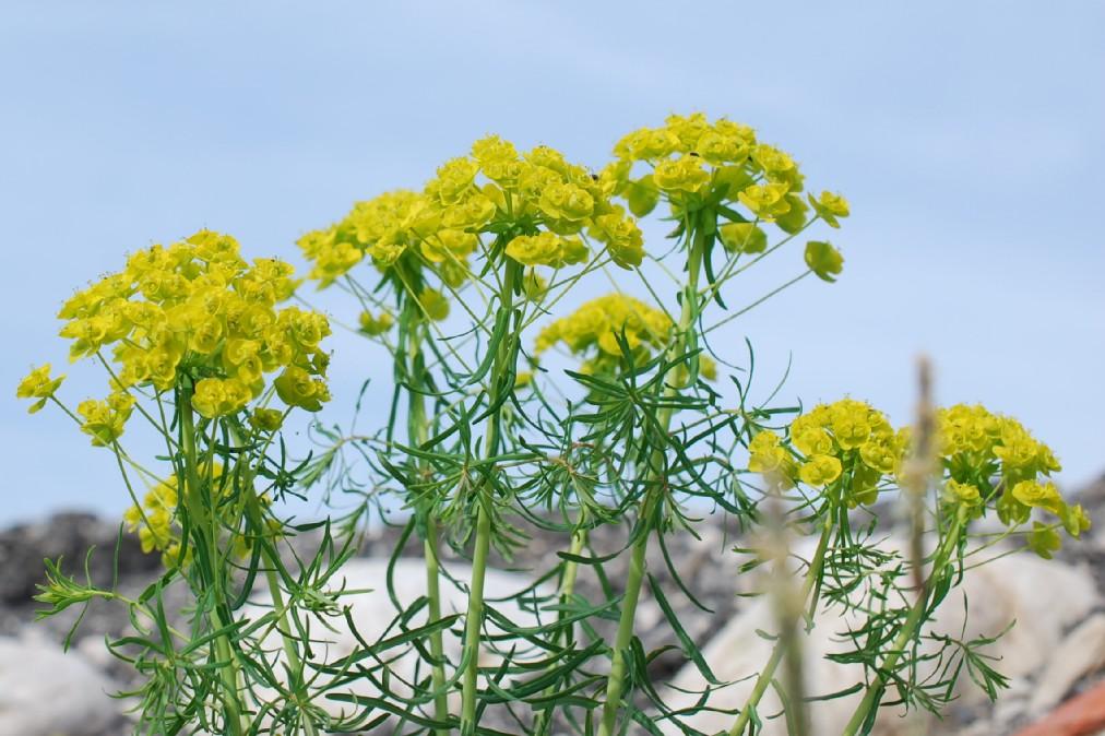 Euphorbia cyparissias 18