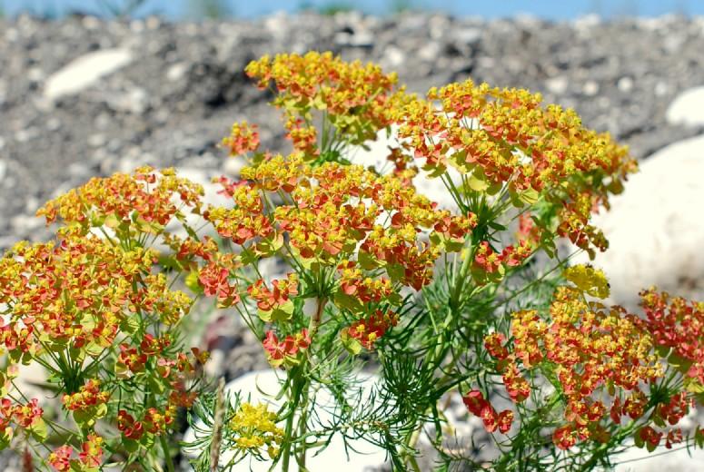 Euphorbia cyparissias 24