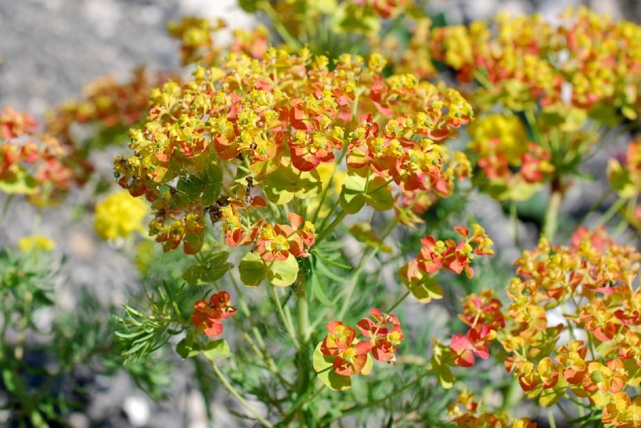 Euphorbia cyparissias 25