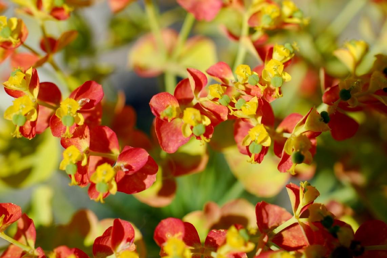 Euphorbia cyparissias 26