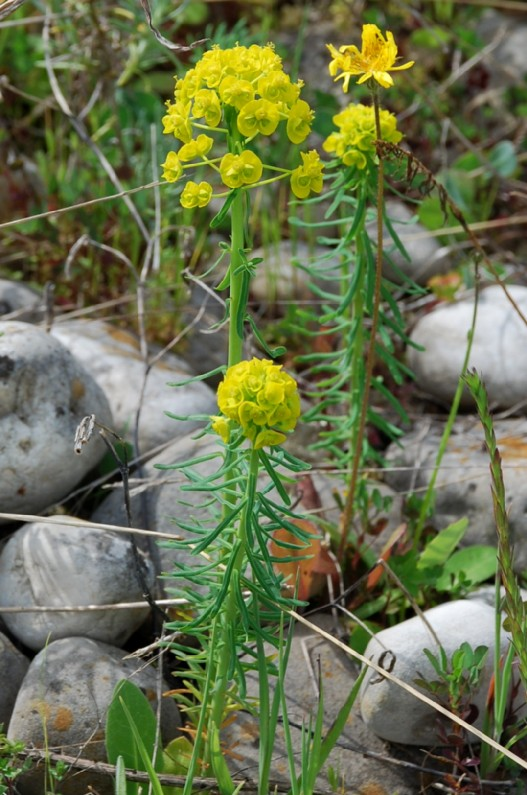 Euphorbia cyparissias 6