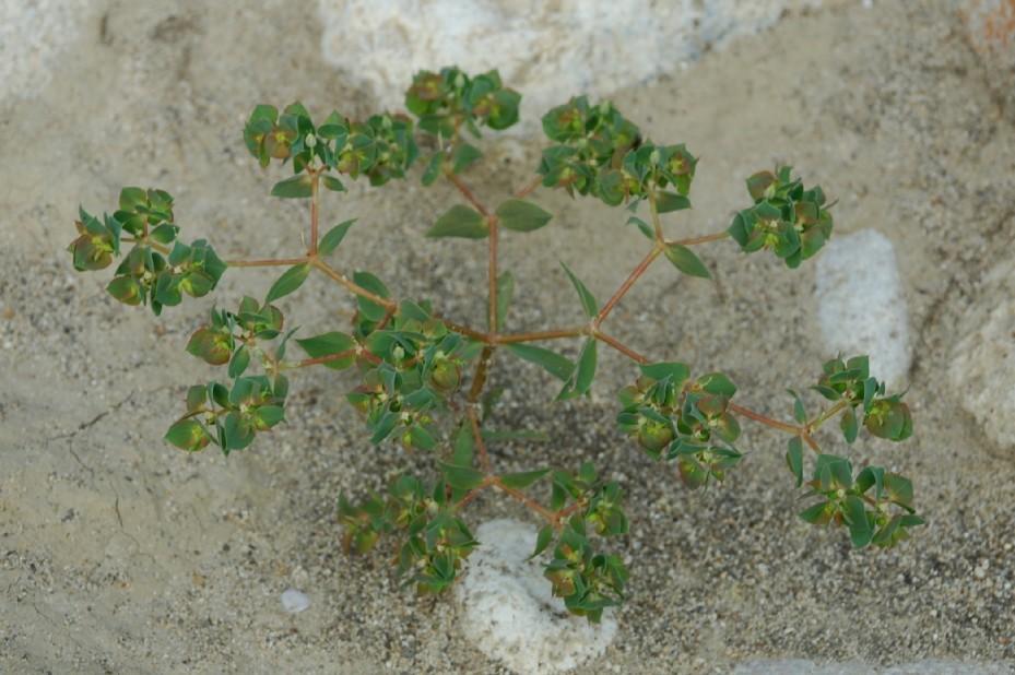 Euphorbia falcata subsp. falcata 10