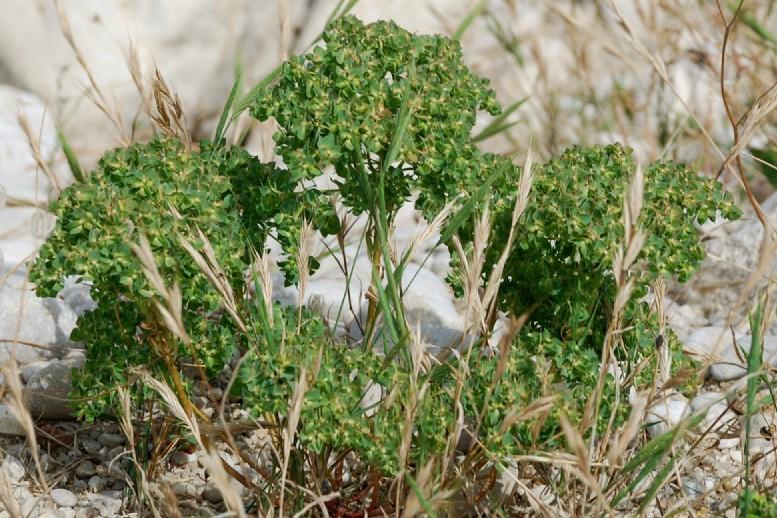 Euphorbia falcata subsp. falcata 12