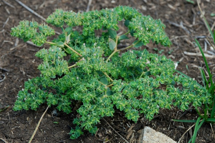 Euphorbia falcata subsp. falcata 14