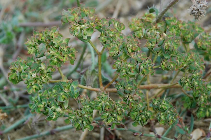 Euphorbia falcata subsp. falcata 16