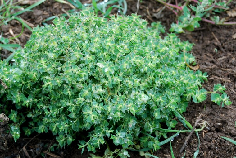 Euphorbia falcata subsp. falcata 17
