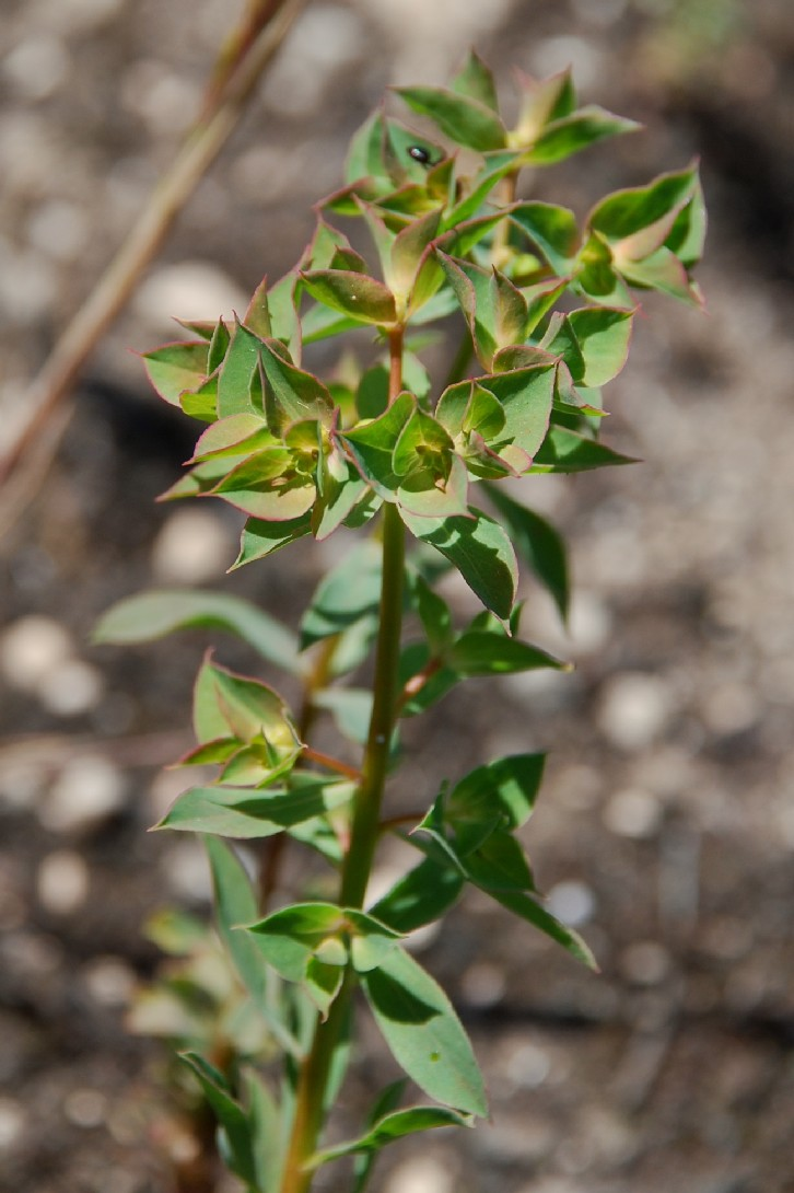 Euphorbia falcata subsp. falcata 8