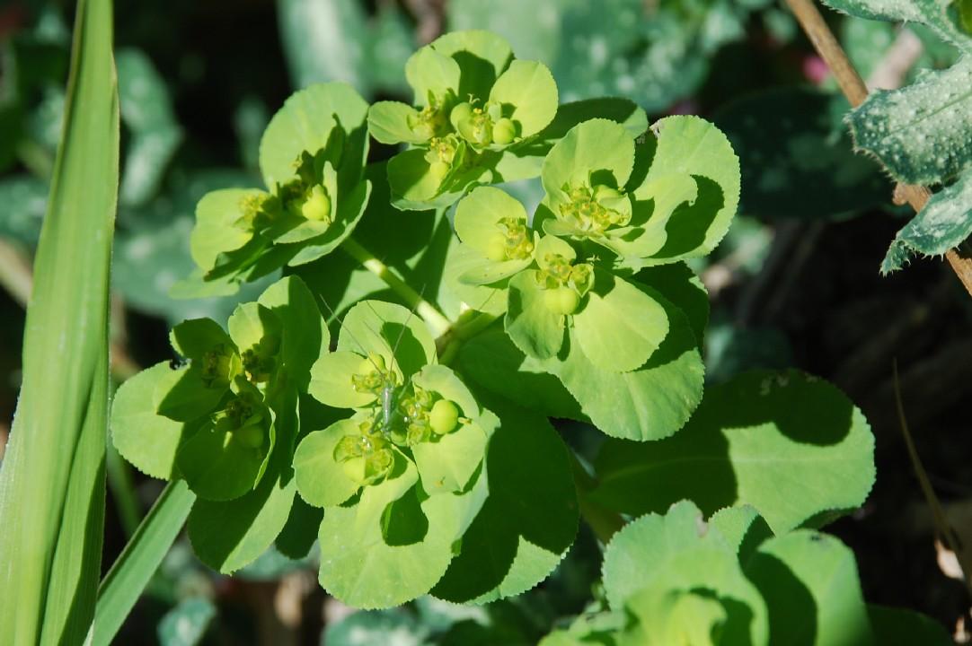 Euphorbia helioscopia 10