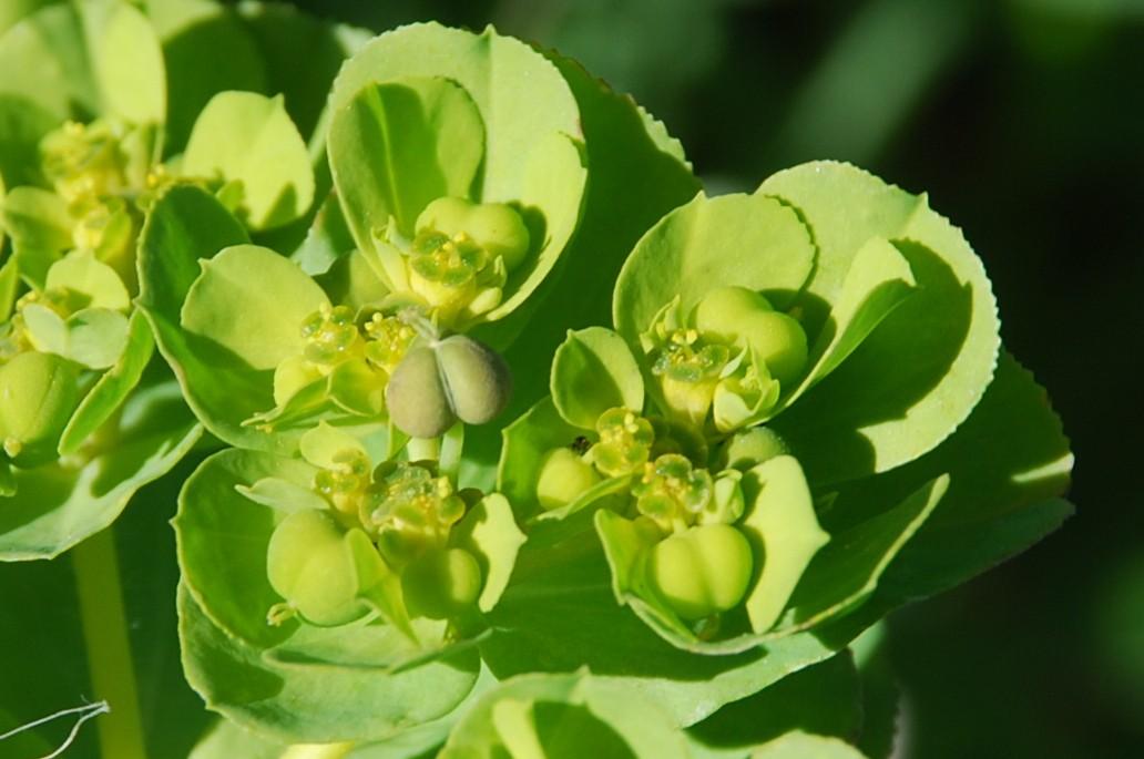 Euphorbia helioscopia 11