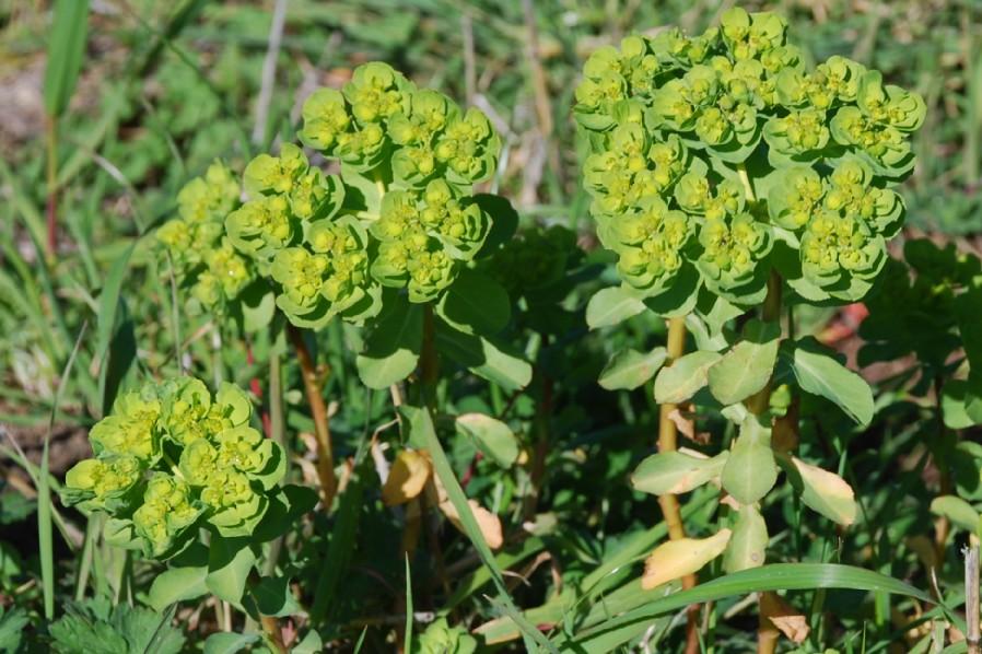 Euphorbia helioscopia 13