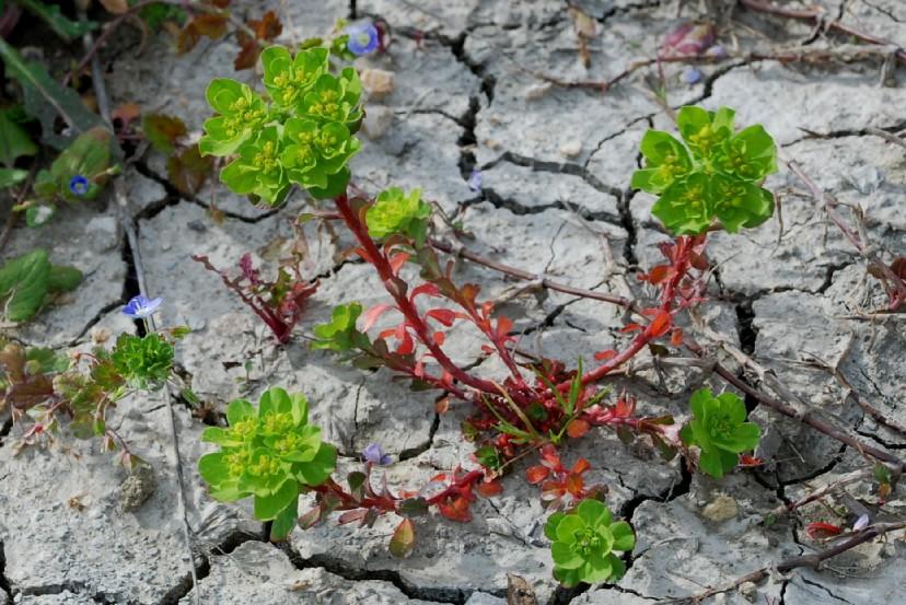 Euphorbia helioscopia 16