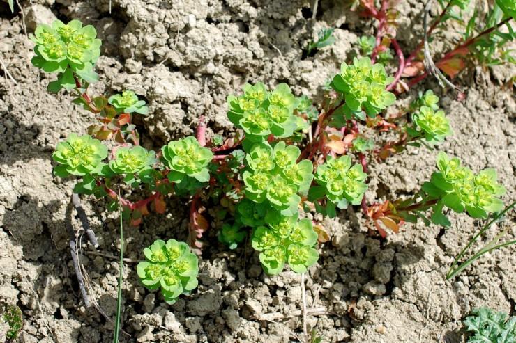 Euphorbia helioscopia 17