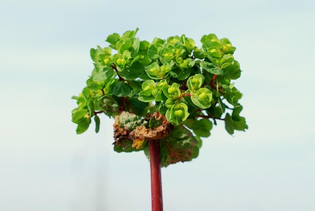Euphorbia helioscopia 19