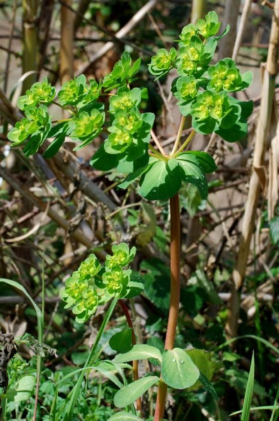 Euphorbia helioscopia 2