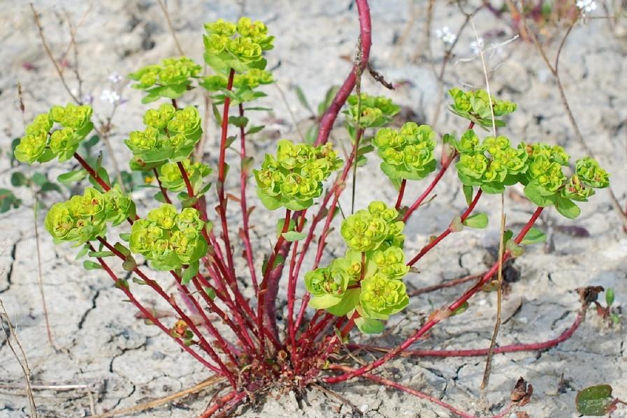 Euphorbia helioscopia 20