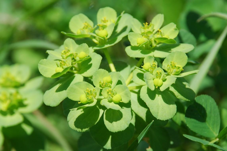 Euphorbia helioscopia 5