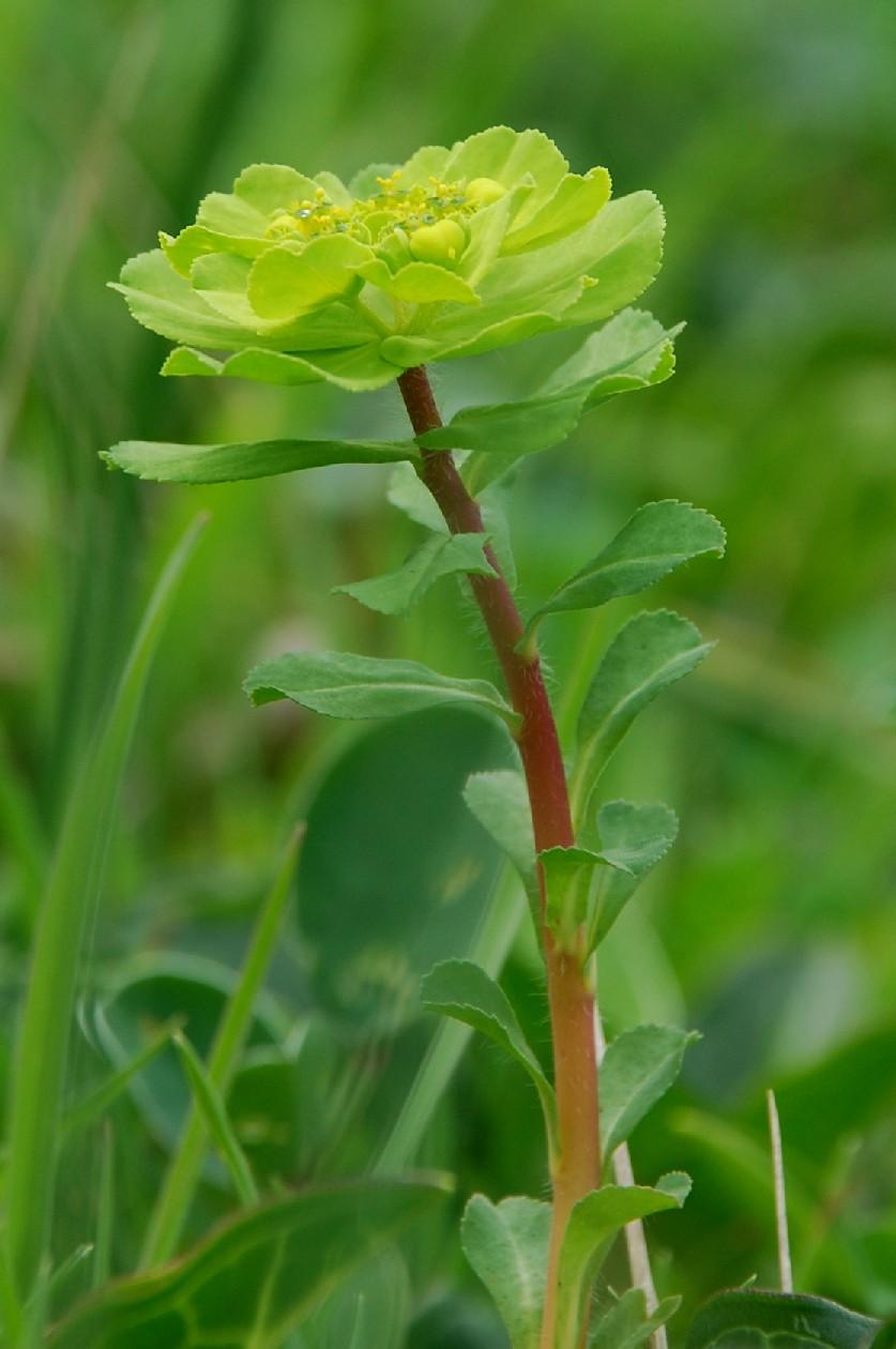 Euphorbia helioscopia 6