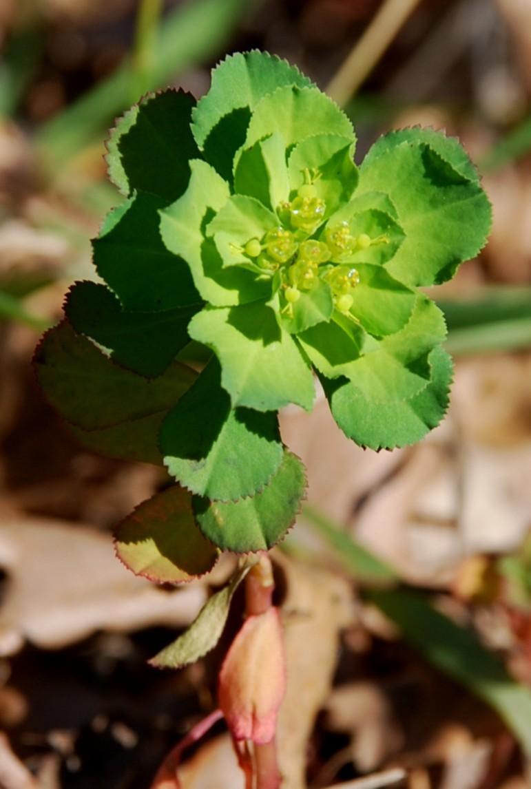 Euphorbia helioscopia 7