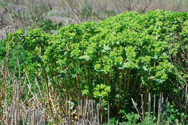 Euphorbia helioscopia 8