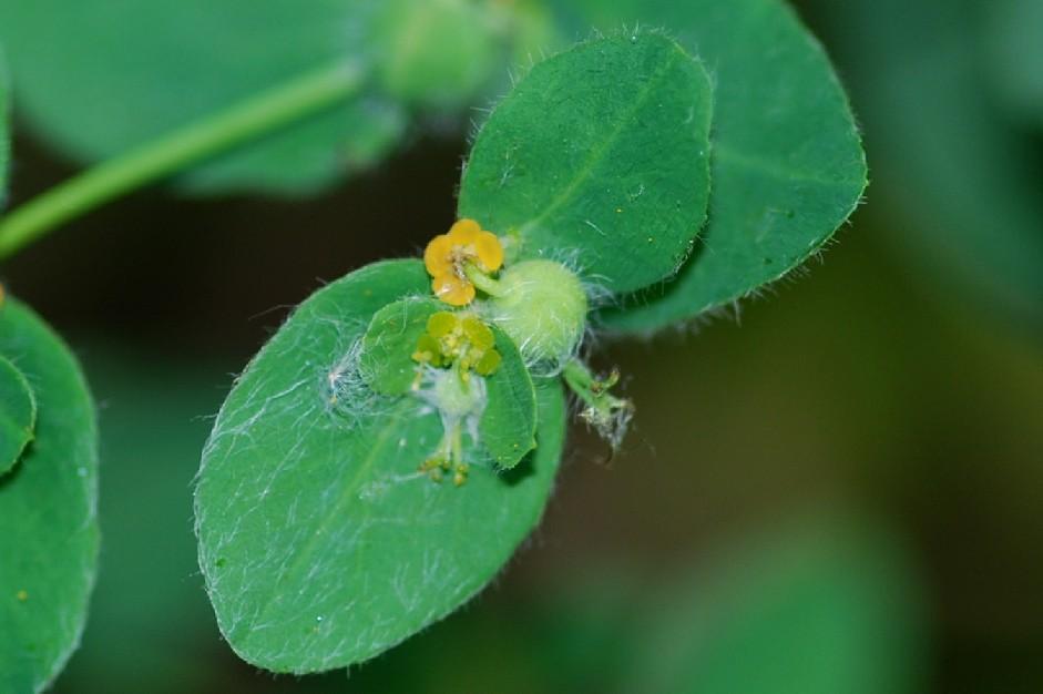 Euphorbia hirsuta 3